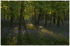 Bluebell Woodland (Alan-Taylor) Tags: bluebells bluebell woodland spring tree sunlight green blue ilkley yorkshire
