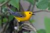 Prothonotary Warbler (Alan Gutsell) Tags: prothonotary warbler prothonotarywarbler songbird migration texasbirds texas alan nature wildlife photo brazosbendstatepark statepark park