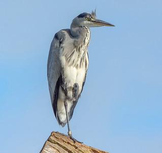 JWL2093  Grey Heron...