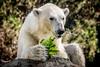 A Healthy Eater (helenehoffman) Tags: arctic bear wildlife conservationstatusvulnerable sandiegozoo mammal fish ursusmaritimus ursidae tatqiq polarbear polarbearplunge marinemammal animal alittlebeauty coth coth5