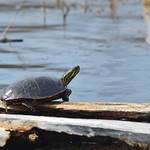 Western Painted Turtle Sunning thumbnail