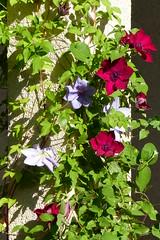 Clematis (ivlys) Tags: darmstadt minigarden garten clematis blume flower blüte blossom pflanze plant rot red blau blue natur nature ivlys
