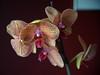 familiars (severalsnakes) Tags: kansas kansascity pentax saraspaedy tamron28105456 flower k1 orchid zoom