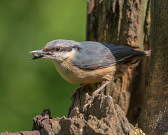 Nuthatch (acerman17) Tags: nature wildlife bird nuthatch woodland wood feeding seeds