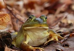 Bullfrog (Lithobates catesbeianus) (phl_with_a_camera1) Tags: herping heron animal closeup detail bullfrog lithobates catesbeianus bull frog
