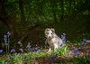 A Star in the Woods (Chris Willis 10) Tags: 2018 bluebells dingle puppy star dog pets animal mammal purebreddog cute nature outdoors canine friendship grass domesticanimals younganimal fur looking forest small playful