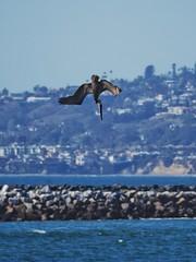 Diving for fish (explored). (isaacullah) Tags: pelican diving ocean seaside bird