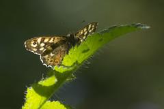 "(Malik""JJ""Degri) Tags: butterfly uk wildlife speckled wood"