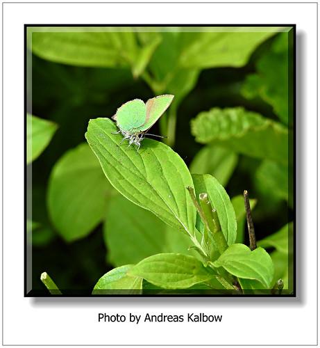 Andreas Kalbow Brombeerzipfelfalter Callophrys rubi 2018.04.27 Große Torfmoor (5)