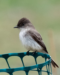 Eastern Phoebe (Sophie Shu) Tags: bir animal bird nature life wildlife conservancy riverwood photo photography wild blue orange brown mississauga ontario yours discover red birds beautiful pretty claw black wood fantastic fantasticnature net phoebe easternphoebe ontarioyourstodiscover canada