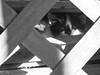 Friendly Kitten (amarilloladi) Tags: kittens blackandwhite bw monochrome monochromebokehthursday hmbt woodpile lattice kitty kittyeyes peekingout smileonsaturday hsos eyecatcher feral