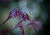 Unbowed (ursulamller900) Tags: trioplan2950 maple ahorn mygarden bokeh springtime frühling purple