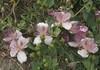 Caper Flowers (Wolfgang Bazer) Tags: kapernstrauch kapernstrauchblüten capparis spinosa caper bush flinders rose flowers blossoms blumen blüten rethymno rethymnon crete kreta