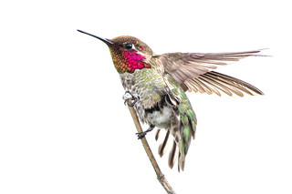 Close-up of an Anna's Hummingbird