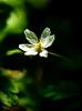 6M7A1904 (hallbæck) Tags: aboretet anemone plante plant blomst flower fleur flore fiore hørsholm denmark
