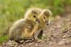 Siblings (Susanne Leyh) Tags: gosling canadagoose canadagosling babyanimal babybird spring springtime cute nikon nikkor wildlife nature natur bird vogel gans gänsejunges