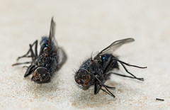 There is a story honest! (Ade McCabe) Tags: fly flies macro insects