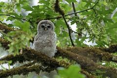 05202018Barred Owl FU5A1913 (Steven Arvid Gerde) Tags: owl
