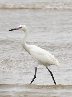 Reddish Egret (white morph) - Egretta rufescens