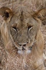Lion - Male (sr667) Tags: magugumanyararegiontanzania magugu manyararegion tanzania tz animalia chordata mammalia carnivora feliformia felidae pantheraleo panthera