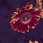 Toronto Ontario - Canada - Allan Gardens Conservatory - Toronto Tropical Garden - Landmark - Transvaal Daisy - Abstract thumbnail