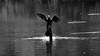 (carlo612001) Tags: biancoenero bn blackandwhite bw uccelli cormorano birds cormorant animali acqua animals water skancheli