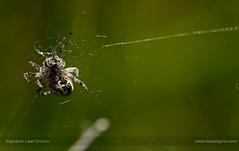 The juggler (ILO DESIGNS) Tags: nature wildlife spain sigma15028 d60 meadow pradera araña arácnido arachnids fauna detail green closeup macro macrofotografía europe spring springtime spider predator sunlight sunny naturallight naturaleza outdoors color