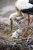 Parent Duty (Twjst) Tags: babyanimal basel bird storch stork tiere vogel zoo