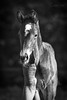 Kalle (Christina Draper) Tags: foal horse pferd equine equestrian photographyblack white bw