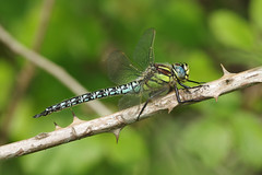 Hairy Dragonfly (Hugobian) Tags: hairy dragonfly insect nature wildlife macro fauna pentax k1 paxton pits