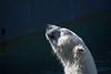 Bliss D7C_6276 (iloleo) Tags: bear polarbear mammal torontozoo nikon d750 nature