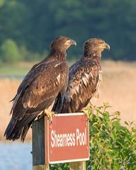 Ssshhh... Super Secret Eagle Spot (Jerry_a) Tags: haliaeetusleucocephalus baldeagle juvenilebaldeagle bird birds raptor birdsofprey bombayhook bombayhooknwr canon7dmkii canon1dxmarkii canon600mmf4isusmii delaware