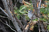 White-throated Sparrow-18-1 (Ian L Winter) Tags: birds ianwinterphoto nature newfoundland powersrd stjohns whitethroatedsparrow wwwianwinterphotocom