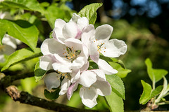 How many apples can you eat! (OR_U) Tags: 2018 oru summer dorisday appletree appleblossom bloom blossom flower macro closeup white green uk