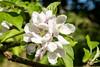 How many apples can you eat! (OR_U) Tags: 2018 oru summer dorisday appletree appleblossom bloom blossom flower macro closeup white green uk