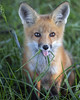 I'm eating grass and you're not!  Na, Nah-nah, nah (S_Cox) Tags: fox redfox wildlife