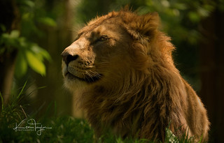 Young male Asiatic Lion