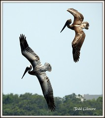 Diving Pelicans (todd5524) Tags: pelicans birds nature wild life outdoors dive diving amazing flight photography photoshop nikon