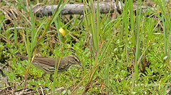 Louisiana Waterthrush (Parkesia motacilla) (keithricflick) Tags: aransasnwr bsftx