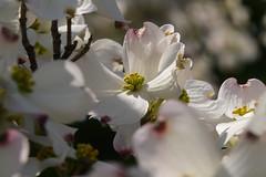 Cornus florida 2 (wundoroo) Tags: nybg newyorkbotanicalgarden newyork bronx spring may nativeplantgarden dogwood floweringdogwood cornus cornusflorida white flowers