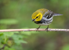 Black-throated Green Warbler (Brian_Harris_Photography) Tags: black throated green warbler bird yellow brown white wildlife nature migration water park refuge exposure nikon nikkor natural marsh magee tree hiking portrait prime wood creek lake erie