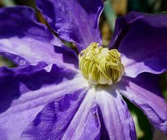 Purple Clematis with unfolding center (Monceau) Tags: parcdubagatelle paris purple vivid clematis flower center macro