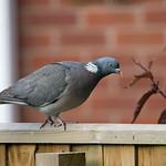 Woodpigeon (Columba palumbus) - Cullompton Leat Fields, Devon - May 2018 thumbnail