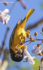 Baltimore Oriole. (rumerbob) Tags: baltimoreoriole oriole songbird bird birdwatching birdwatcher wildlife wildlifephotographer wildlifewatcher nature naturephotography johnheinzwildliferefuge canon7dmarkii canon100400mmlens