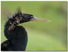 Anhinga ( Male ) (Betty Vlasiu) Tags: anhinga male everglades national park bird nature wildlife