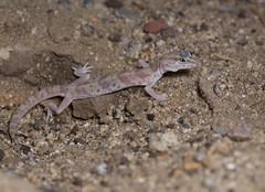 Desert Banded Gecko 3 (brian.magnier) Tags: california desert nature reptiles herps gecko