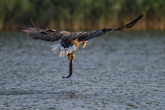 Fishing Sea Eagle (eric-d at gmx.net) Tags: seaeagle seeadler eagle adler eric ngc naturepicturede ericdgmxnet haliaeetusalbicilla