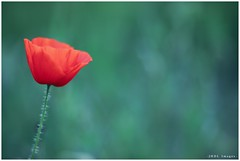 Springtime 2018 (chtimageur) Tags: poppies spring 2018 nature flowers red canon 6d mark ii canon135f20