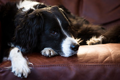 Dogs were made for sofas (Captain192) Tags: dog dogs evening tired sofas collie spaniel bordercollie spanielcolliecross sprollie