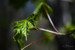 jeunes pousses-5515 (J-P Rioux) Tags: jprioux fujifilm helios442 parc escarpement feuilles